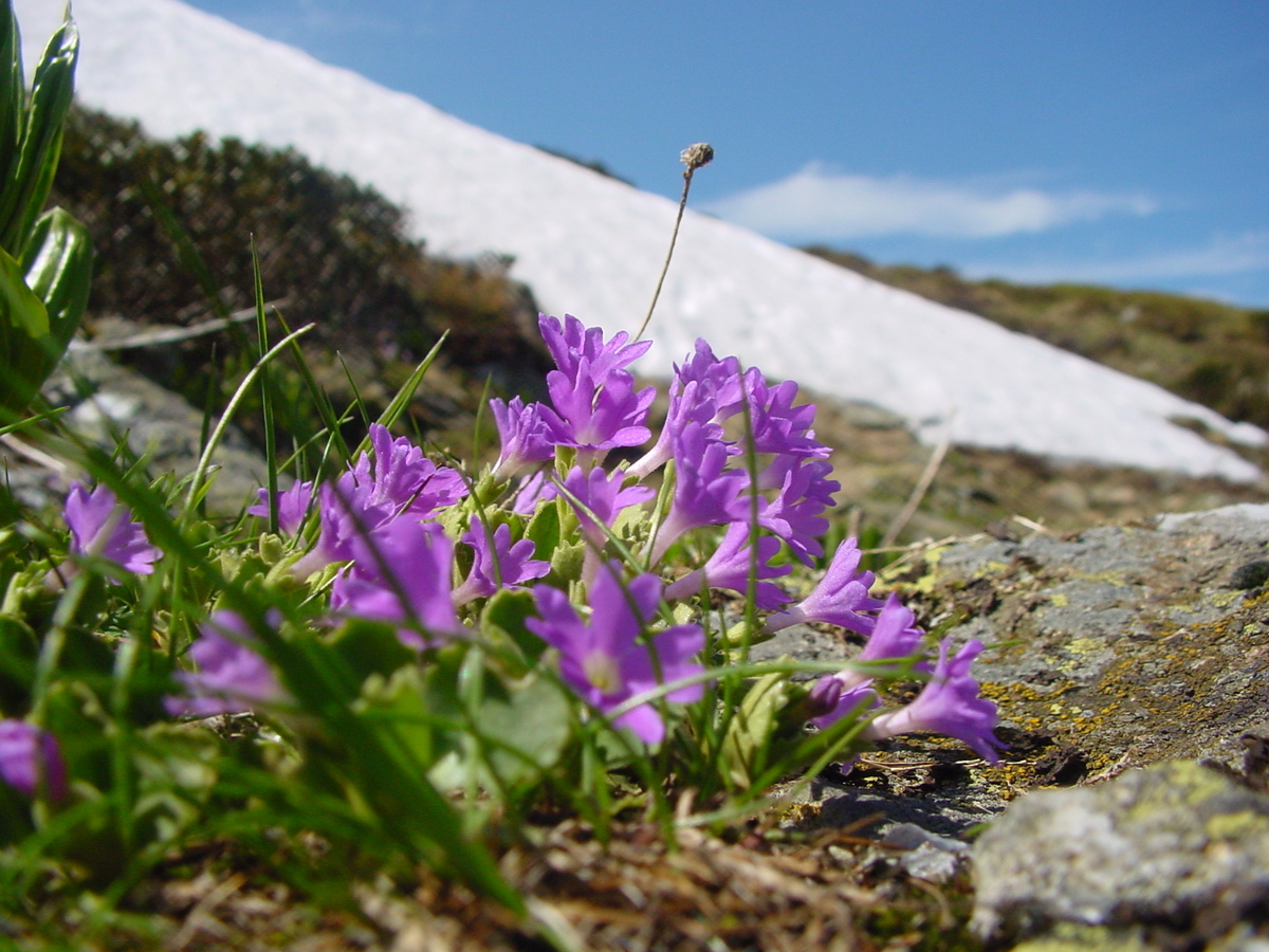 Alpines from the wild to your garden