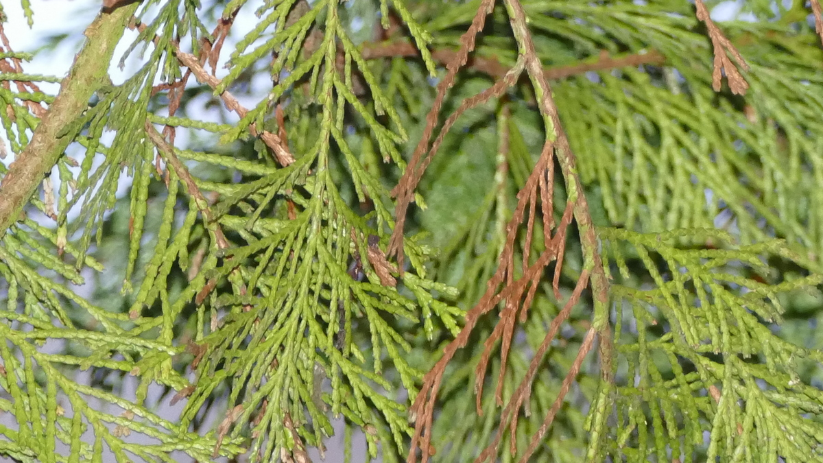 Conifer Pests, Diseases and Other Problems