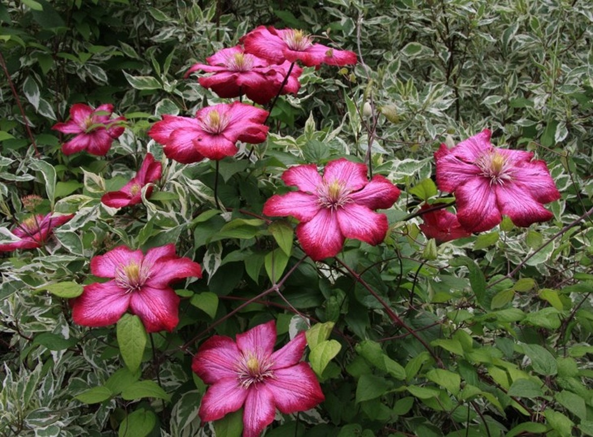 Clematis - Notes from talk