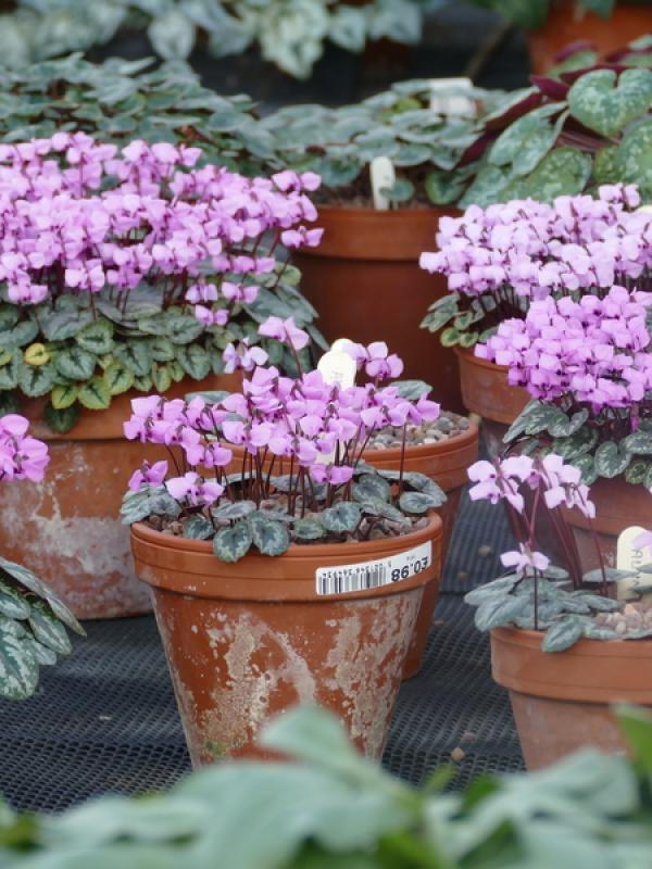 Cyclamen in flower