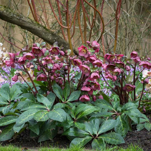 Helleborus (Rodney Davely Group) 'Anna's Red'